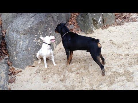 Rottweiler VS Pack of Huskies & German Shepherd at Dog ...