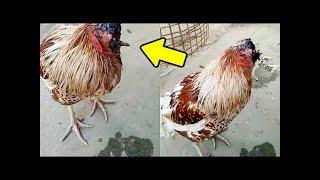 معجزه دجاجة تعيش بدون رأس تهز العالم شاهد بنفسك ! سبحان الله