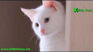 Vana katu Վանա կատու Ванские кошки