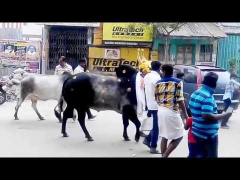 Xxx Mp4 Jallikattu Kaalai Pongal Festival 2017 3gp Sex