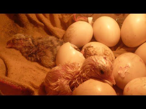 como fazer uma chocadeira de ovos muito simples japonvar mg.flv