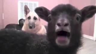 Goats yelling like humans vs No No No Cat
