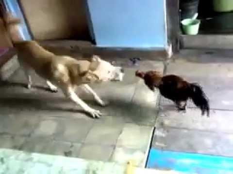Pertarungan Ayam Jago Dan Anjing