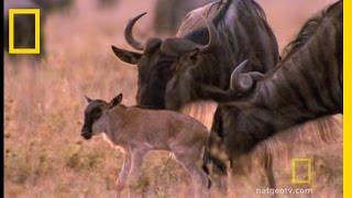 Wildebeest Migration   National Geographic
