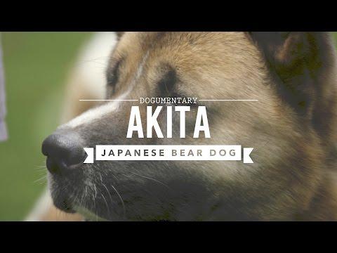 AKITA THE JAPANESE BEAR DOG