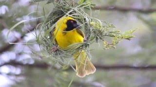 Poetry : Son chiriya (Golden Bird)