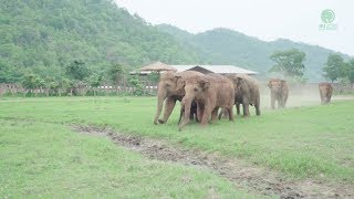 Elephants Run To Greeting A New Rescued Baby Elephant
