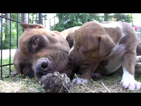 Pit Bull Growls and Snaps at Her Puppies in HD