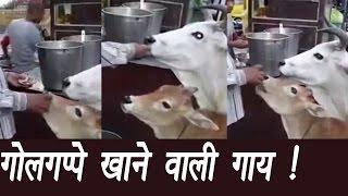 गोलगप्पे खाती है ये गाय, Cow eating golgappa; Watch Video | वनइंडिया हिंदी