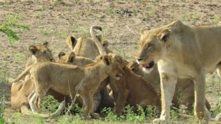 Lioness reunited with excited cubs after the hunt!