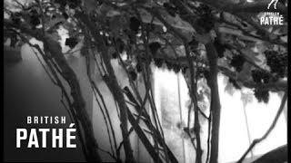 Immortal Vine (1963)