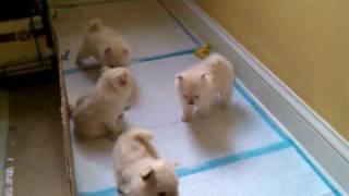 Pom puppies playing around
