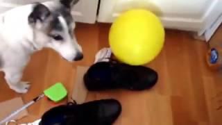 Cukulat- Ronaldo Jack Russell  loves  Baloons- Balon  gorunce Ronaldo  deliriyor
