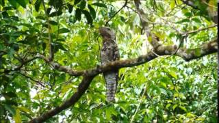 Great Potoo Song