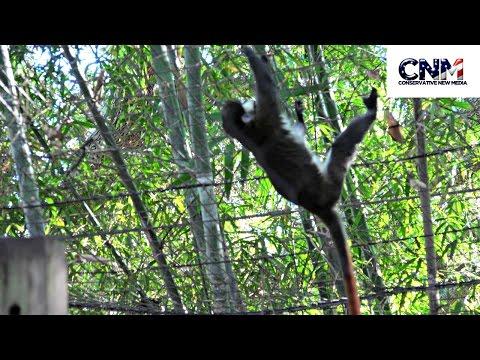 Schmidt's Red Tailed Monkey - in 4K Ultra HD - Raw Video