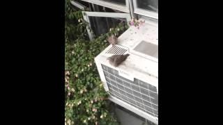 Kissing pegeon