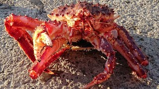 How to kill a king crab after you catch it