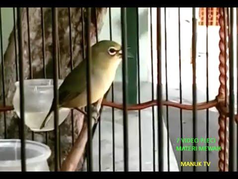 7 Video Burung Pleci Materi Mewah Nembak Ngotot Part 1