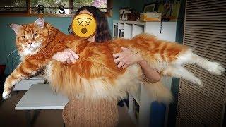 قطط عملاقة لن تصدق أنها حقيقية !