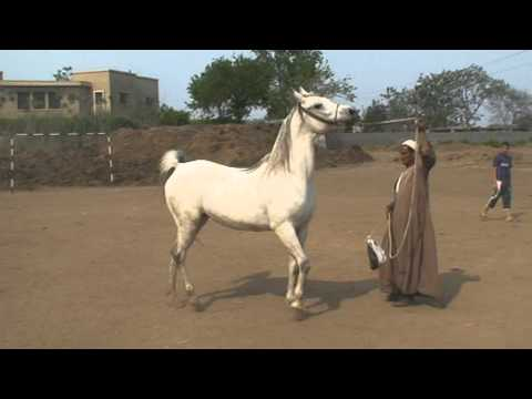 مربط مهنا - خيول عربية اصيلة سلالات نادرة- سنابل