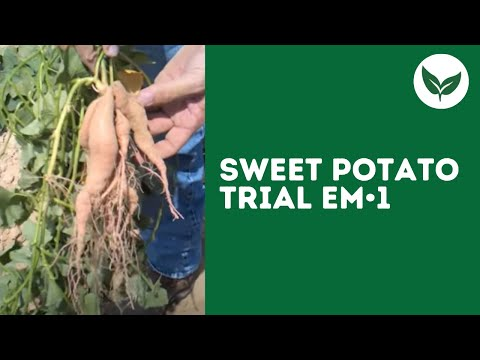 Sweet Potato Trial with Effective Microorganisms
