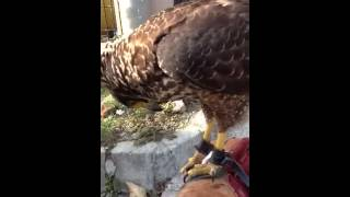 Crested serpent eagle - Elang bido