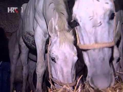 U Hrvatsku vraćeni konji lipicaneri ukradeni za vrijeme rata Tv kalendar 12.listopad