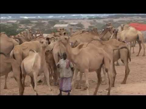 Somalia Livestock