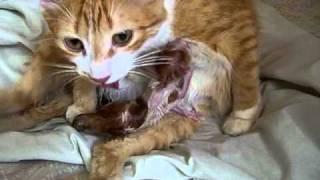 ペムペルの出産 その7    (The childbirth of cat   PART7)