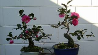 Camellia - With Snowy Red to Pink Blossoms