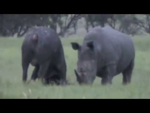 Rhino Kills Buffalo in Epic Battle Africa Style