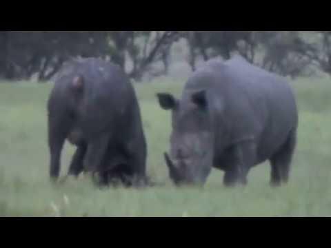 Rhino Destroys Cape Buffalo (Original Film)