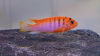 Labidochromis Hongi Super Red