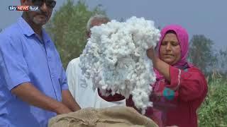 مصر.. مزارعو القطن يطالبون بمزيد من الدعم