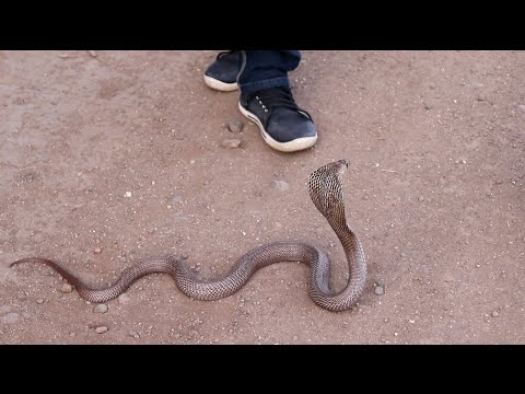 Cobra snake (naja naja)
