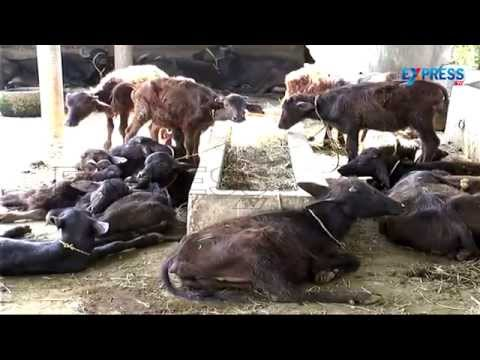 Best Practices of Dairy Farming Paadi Pantalu Express TV