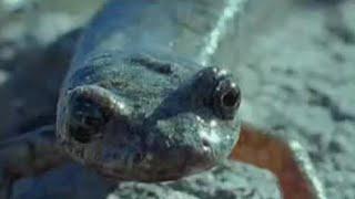 Rolling Salamanders & Caterpillars - Weird Nature - BBC animals
