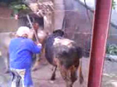Xxx Mp4 BIG BULL ON A COW ANIMAL SEX VIDEO 3gp Sex