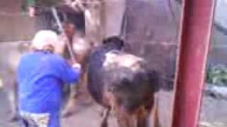 BIG BULL ON A COW ANIMAL SEX VIDEO
