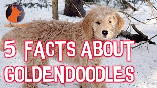 Top 5 Facts About Goldendoodles