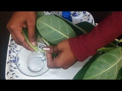 Xxx Mp4 इस पौधे से दाद खाज खुजली की छुट्टी करें। Fungal Infection Home Remedy 3gp Sex