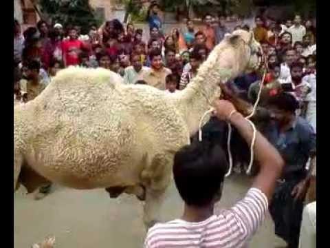 Camel Qurbani Block L North Nazimabad Karachi