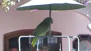 Parrots at Santos Tomas.wmv