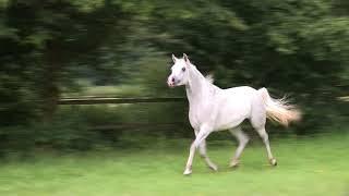 Arabian horse mare NAHAYA AL AMRYAN by Sax Arabians Germany