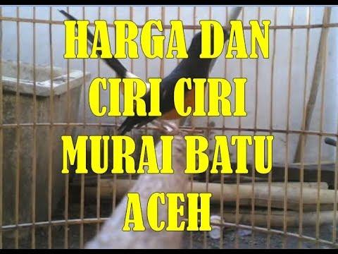 Ciri Ciri Dan Harga Burung Murai Batu Aceh Ekor Hitam