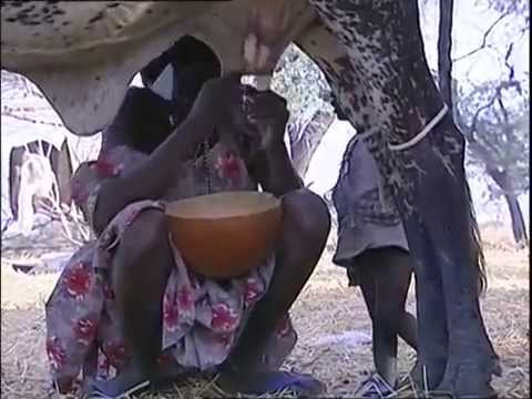Kuri cattle of Lake Chad   nomads of the islands