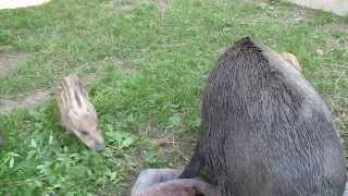 When wild boars have madcapery - crazy feeling
