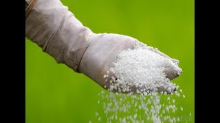 uriya khad ko podho m aise daale// how to use uriya fertiliser