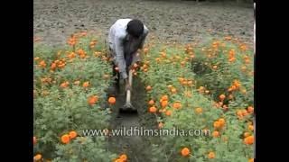 Marigold or gaindha farming in West Bengal