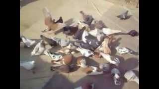 Pigeon  in d i khan